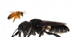 In un isola dell'indonesia, Clay Bolt e Eli Wyman hanno trovato un esemplare di Megachile Pluto. Si tratta dell'ape più grande al mondo che misura un apertura alare di 6 centimetri