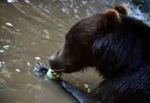 Orso Marsicano in via d'estinzione: ne restano solo 50 esemplari