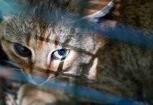 Corsica: scoperta una nuova specie il 'gatto - volpe'
