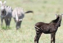 zebra pois