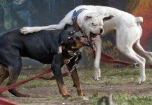 Cani aggressivi