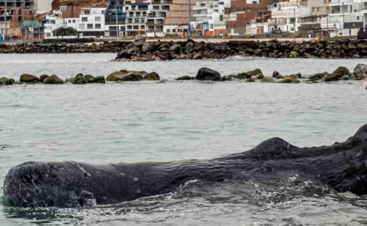 Balena morta sul fiume: il terzo cetaceo deceduto in pochi mesi