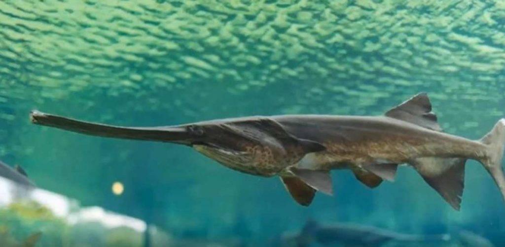 Pesce spatola cinese estintoPesce spatola cinese estinto