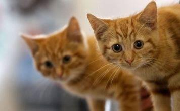 Musica per gatti: il ritmo che li aiuta a combattere lo stre