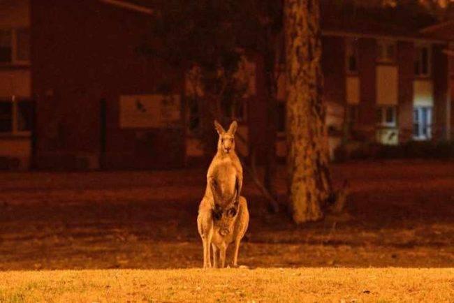 Incendi Australia: gli animali morti sono circa un miliardo
