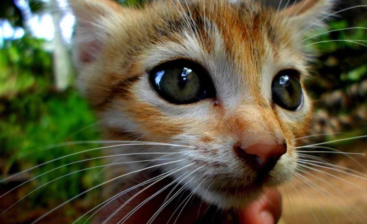 Microchip gatto, dal 1°gennaio 2020 è obbligatorio: ecco dove