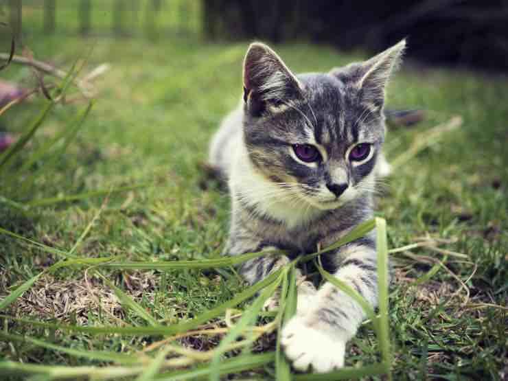 Gatto (fonte foto: pxhere)