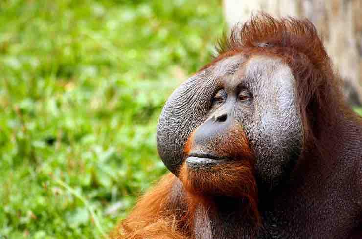 Zoo di Colchester, orango bacia il pancione di una donna - Video