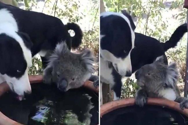 cane e koala