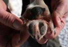 Candeggina sotto le zampe dei cani: il monito dei veterinari
