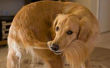 Il cane cerca di prendersi la coda. Sapete perché lo fa?