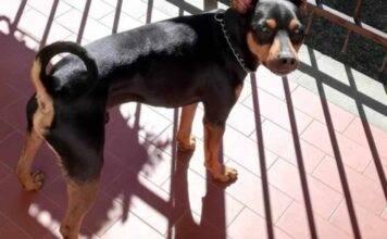 Caltanissetta, coppia litiga e lascia il cane sul balcone per 2 giorni: è in fin di vita