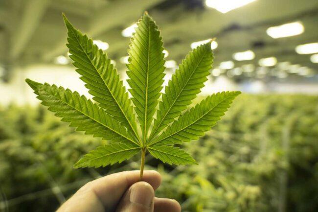 Cannabis - immagine di repertorio (Google Images)
