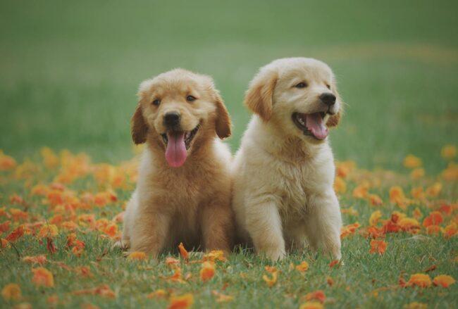 Cani parlanti (Pexels-Chevanon)