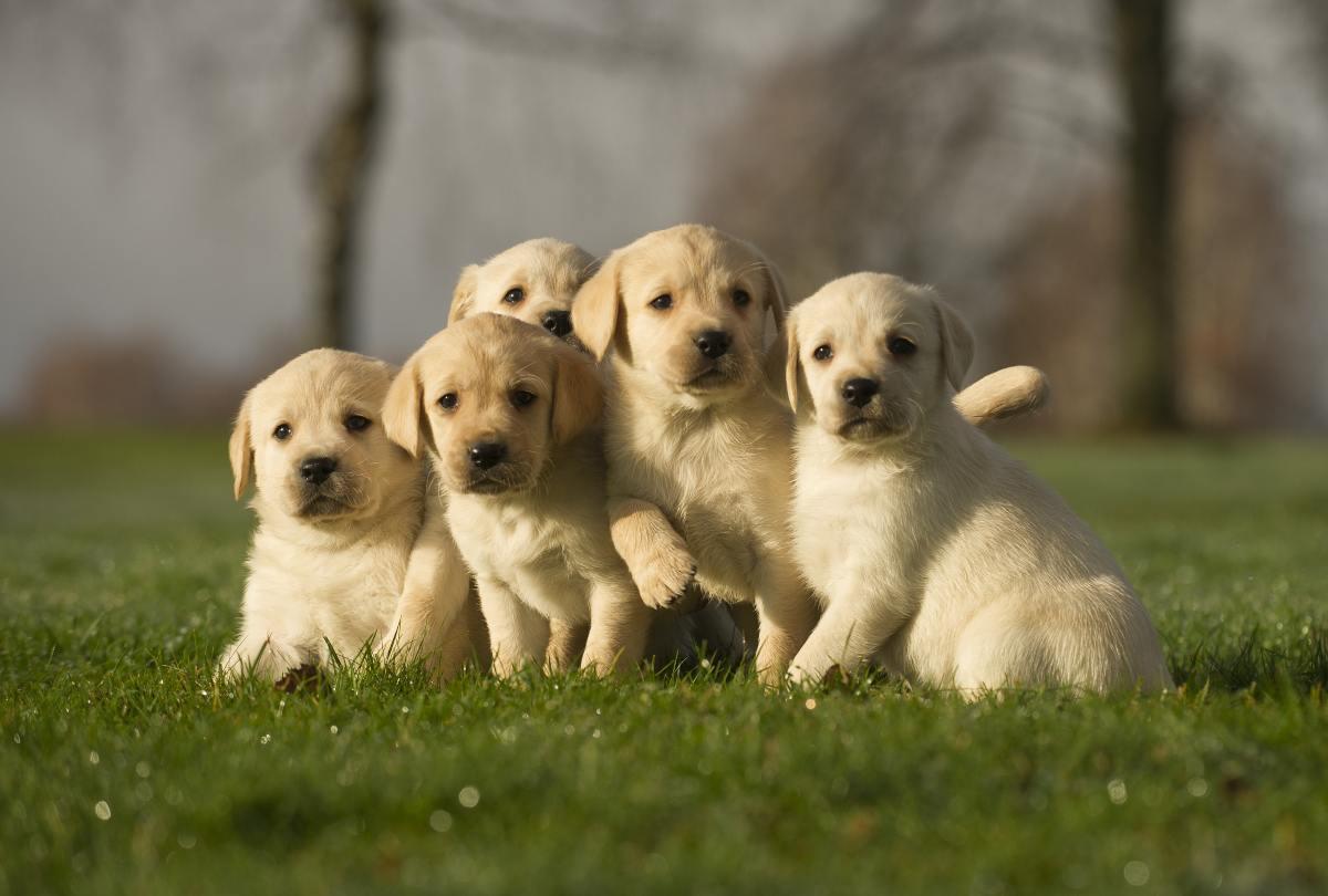 Cucciolo di Labrador (AdobeStock)