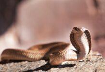 Serpente (Adobe Stock)